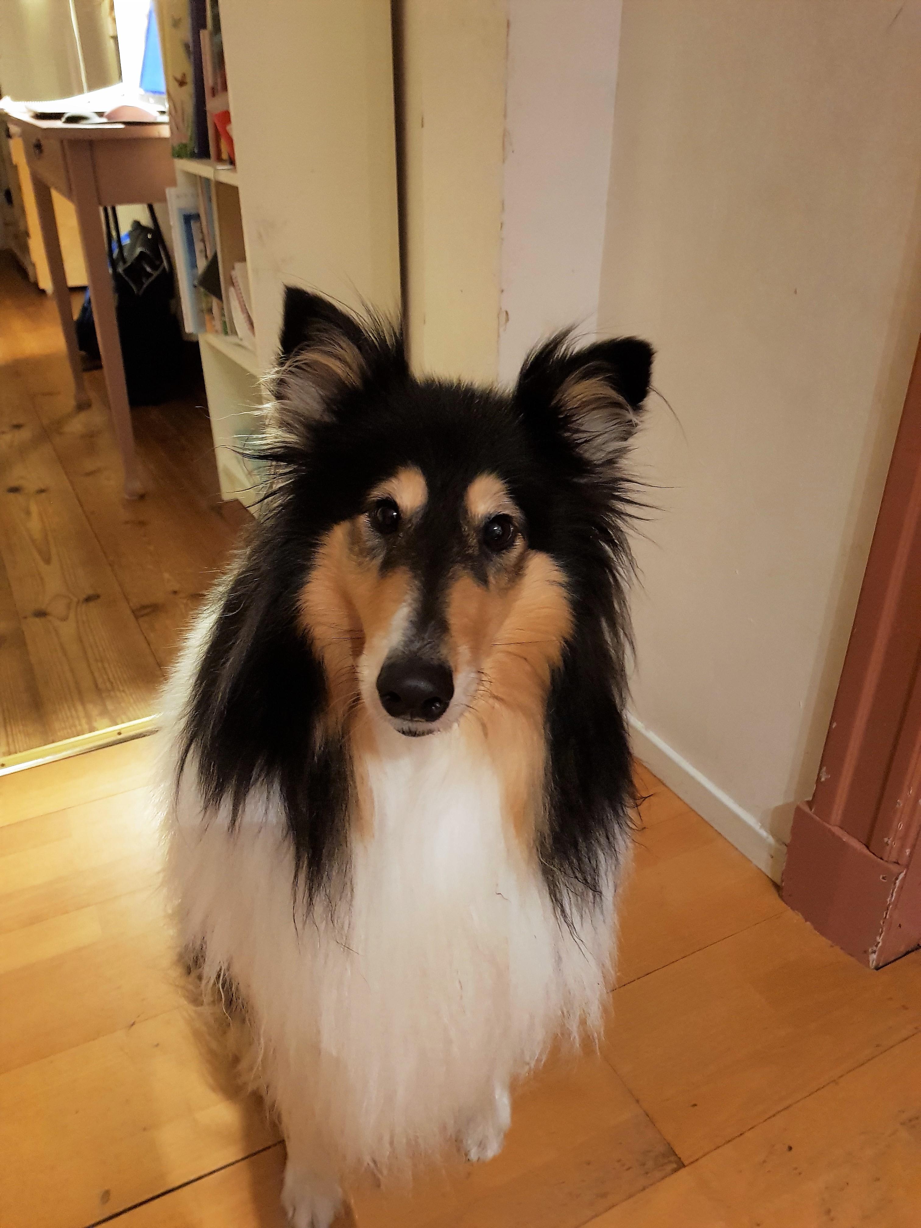 Veterinärens hund, Tess, en trefärgad collie