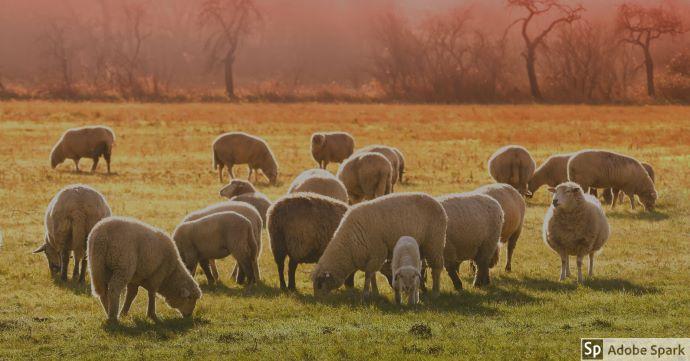 Betande får i olika åldrar på gräsbevuxen betesmark. Det är några träd i bakgrunden.