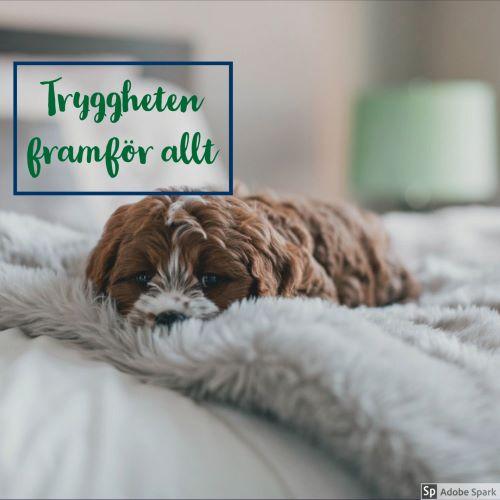 En liten brun och vit hund ligger behagligt på en mjuk fluffig ljusgrå filt. Hunden slipper resan till veterinärkliniken.