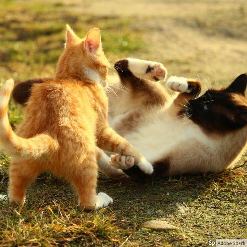 Två katter slåss med varandra. Ena katten är röd och vit och den andra är brunt himalayatecknad (där huvud, ben och svans är mörkare än resten av kroppen). Bitsår efter kattslagsmål kan leda till en böld.