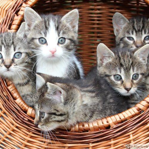 Fem små spräckliga kattungar i en kort. Dessa katter ser friska ut, men det är vanligt att unga utekatter får öroninflammation där öronskabb är underliggande orsak.