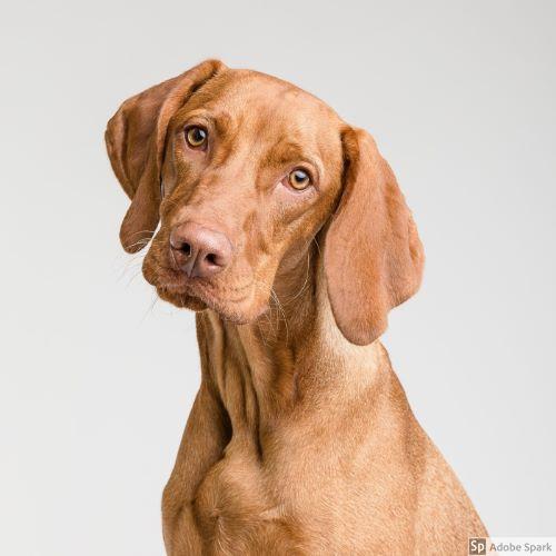 En brun hund med kort släthårig päls tittat mot fotografen med huvudet lite på sned. Hunden är förhoppningsvis vaccinerad mot parvovirus.