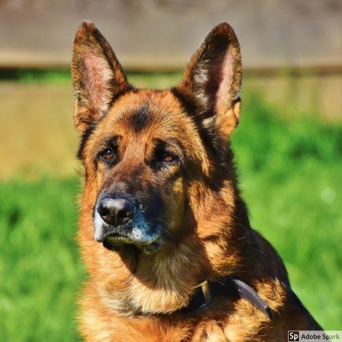 En schäferhund tittat lite till vänster om fotografen. Det är viktigt att skydda våra hundar mot valpsjuka genom vaccination.