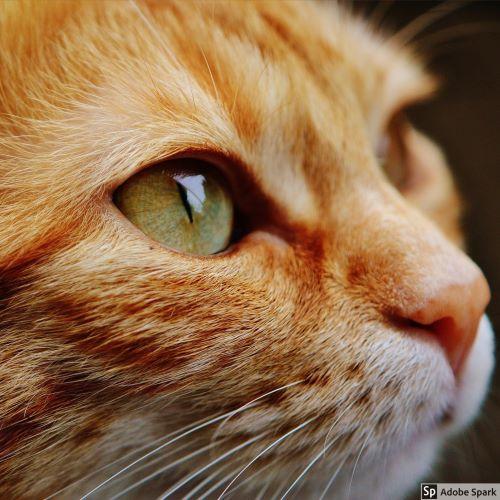 En rödtabbyfärgad katt med gröna ögon tittar i profil åt höger från fotografen sett. Katten ser frisk ut och är sannolikt fri från kattsnuva.