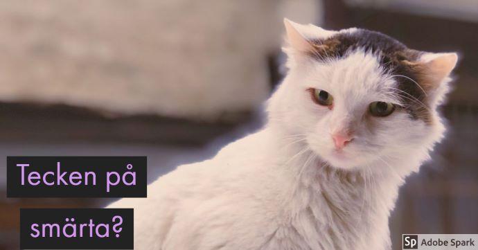 Tecken på smärta? står på bilden över en vit och brun katt som tittar sig över axeln mot kameran.