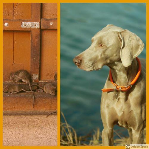 En bild på råttor vid en port. Till höger en bild på en hund med vatten i bakgrunden. Leptospiros kan spridas av råttor och trivs där det finns vatten.
