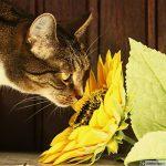Katt som nosar på en solros. Bilden är en symbol för Sommarkampanjen på vaccination av katter. Kampanjen gäller hela sommaren fram till 31 augusti.
