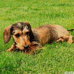 Strävhårig tax som ligger i grönt gräs. Vaccinera din hund under kampanjen som gäller hela sommaren till 31 augusti.