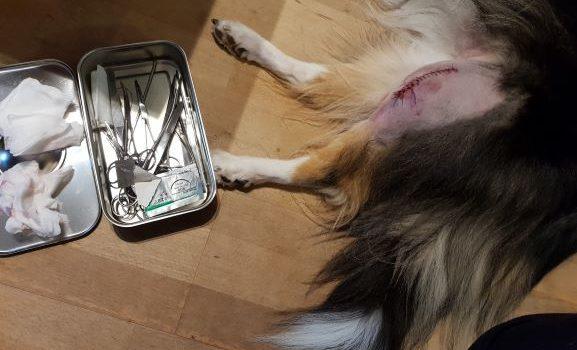 Till vänster en instrumentlåda med operationsinstrument och till höger Tess bakben med ett nysytt operationssår på vänster knä.