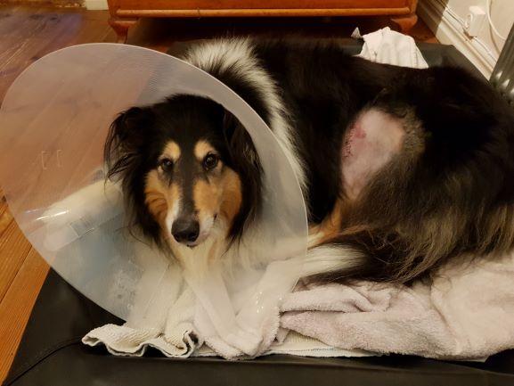 Trefärgad collie Tess i krage med ett operationssår på vänster knä. Kragen är viktig för att undvika komplikationer från sårinfektion.