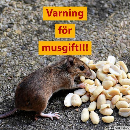 """En mus som äter nötter med texten """"Varning för musgift!"""" i rött på gul botten ovanför. Texten handlar om en varning för alfakloralos som kan förgifta katter och hundar."""