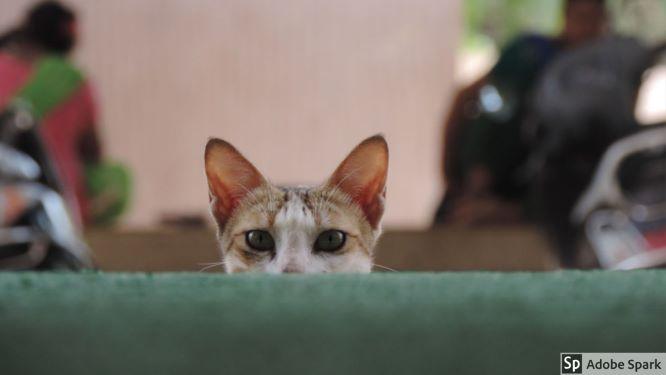 kampanj kastrering katt 2019